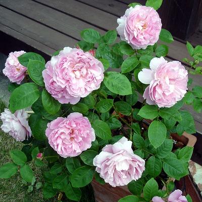元気なころのバラ。