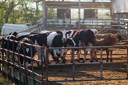 牛さんたち