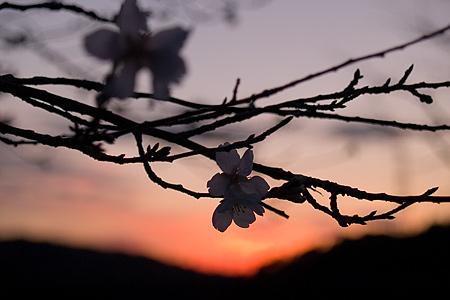 小原の四季桜アップ