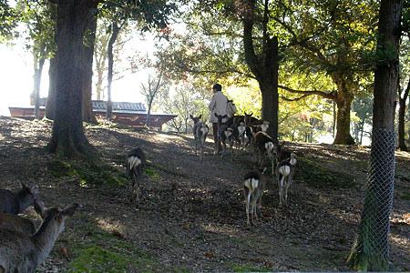 奈良の鹿コレクション-11