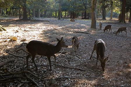 奈良の鹿コレクション-2