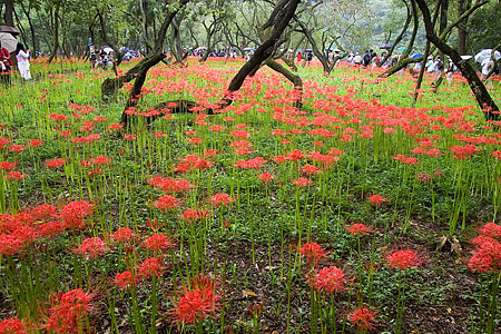 雑木林の彼岸花