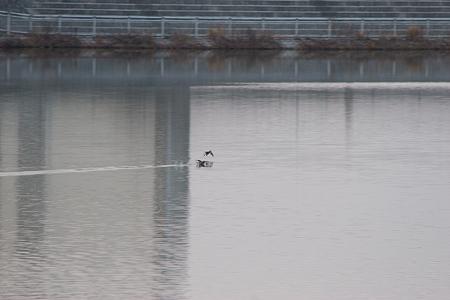 牧野ヶ池の鳥-9