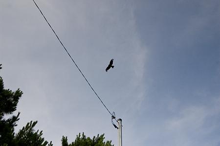低い空を飛ぶトンビ