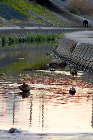 香流川のカルガモ