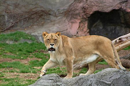 東山のライオンさん森繁似