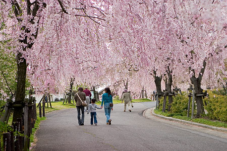 東谷山フルーツパークのしだれ桜