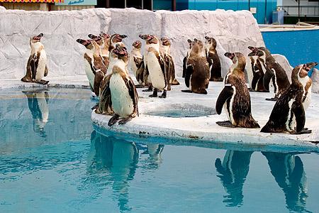 フンボルトペンギンたち
