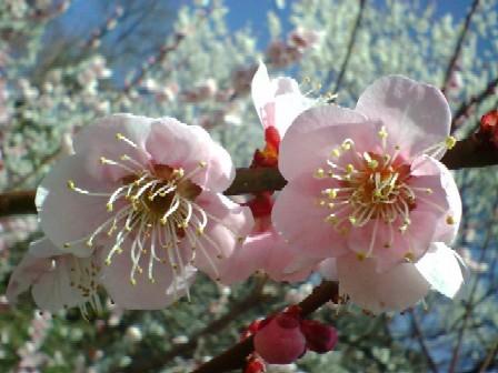 070301梅の花