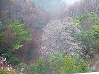 工房から見える桜
