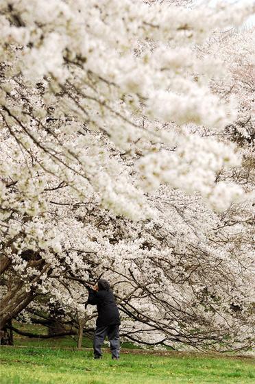 桜とおばあさん