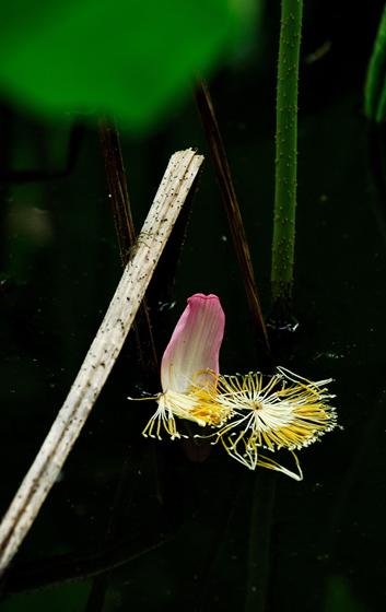 蓮の花びら