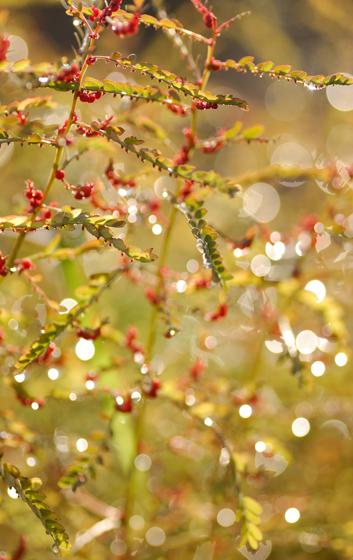 小ミカン草の秋