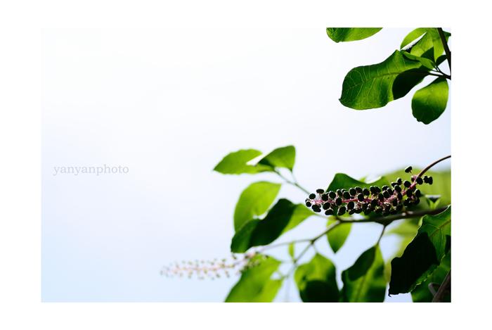 洋種ヤマゴボウ