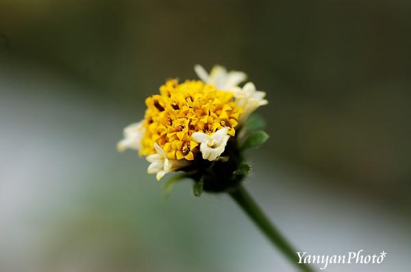 シロノセンダングサの花