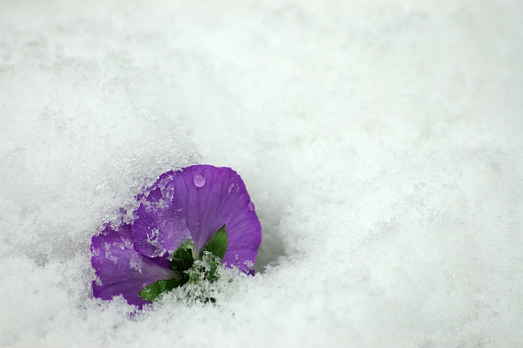 雪のビオラ