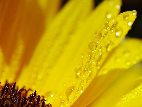 ヒマワリの黄色の雫