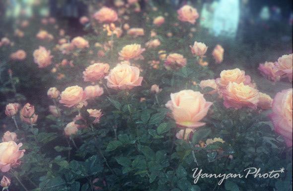 バラの花園