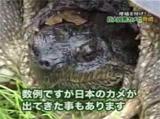 日本の水辺に注意!カミツキガメの恐怖