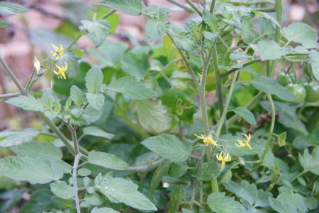 まだ頑張るミニトマトの花
