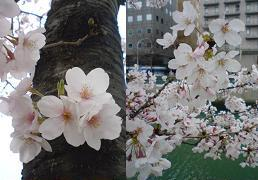 08yokohama桜