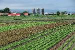 近郊のレタス畑