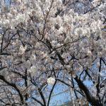 桜2009_04030003_convert_20090405103003