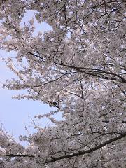 桜の真下から