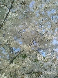 桜20090328
