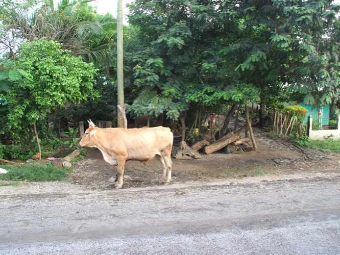 th_牛さん。ニカラグア