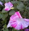 朝顔(ピンクの筋)