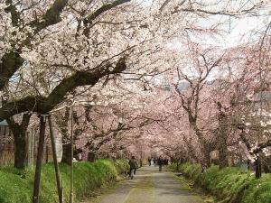 徳佐 枝垂れ桜1