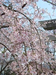 徳佐 枝垂れ桜4