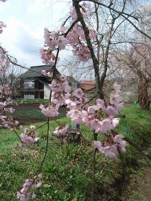 徳佐 枝垂れ桜5