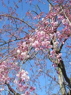 豆子郎 枝垂れ桜