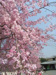 豆子郎枝垂れ桜1