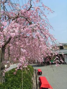 豆子郎枝垂れ桜2