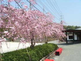 豆子郎枝垂れ桜4