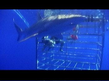 サメれいな。