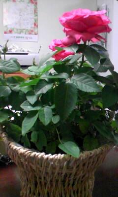 バラの鉢植え