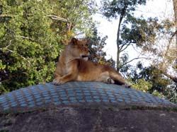 ワルシャワ動物園 ライオン