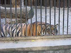ワルシャワ動物園 虎
