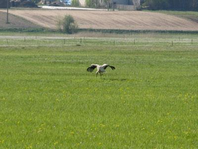 ポーランド コウノトリ