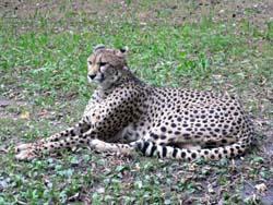 ワルシャワ動物園 チーター