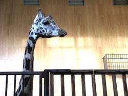 ワルシャワ動物園 キリン