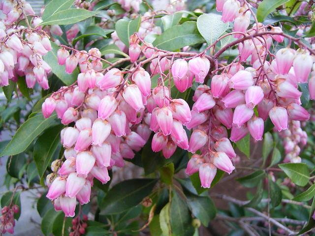 aaooasebi02馬酔木の花