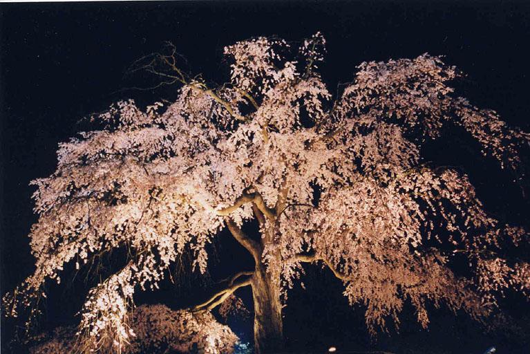 entry_24しだれ桜円山公園