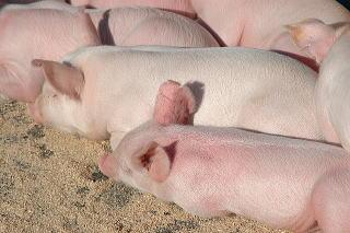 DSC_01691豚