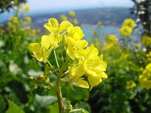 040207nanohana01菜の花