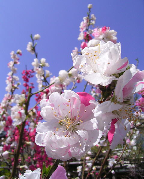 aaoomomo00桃の花